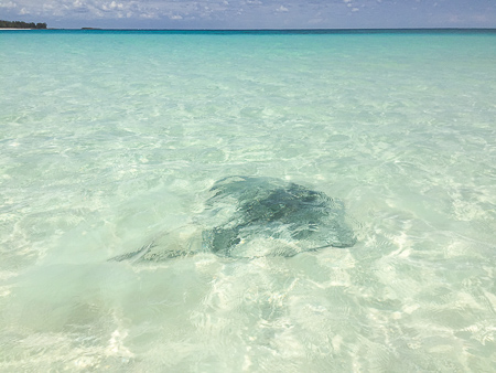 stingray in blue water