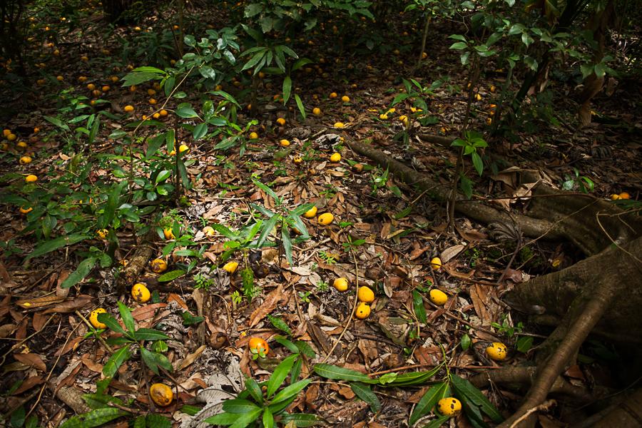 fallen mango